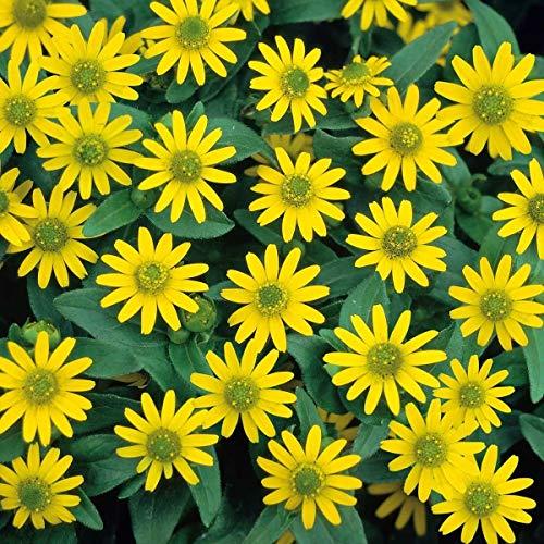 OBI Blütezeit: Von Juni bis Oktober