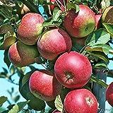 Apfel Ingrid Marie - Malus - Winterhart - Fruchtreife September bis Oktober - Liefergröße circa 120cm als Containerpflanze