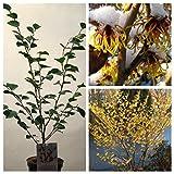 Grüner Garten Shop Gelbblühende Zaubernuss Arnold Promise, Hamamelis intermedia Pflanze mit 100-120 cm im 23 cm Topf
