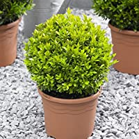 Pair of Buxus Balls Topiary 25cm diamater - Add Instant Impact to your Garden