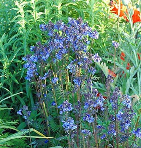 Jakobsleiter Purple Rain - Polemonium yezoense
