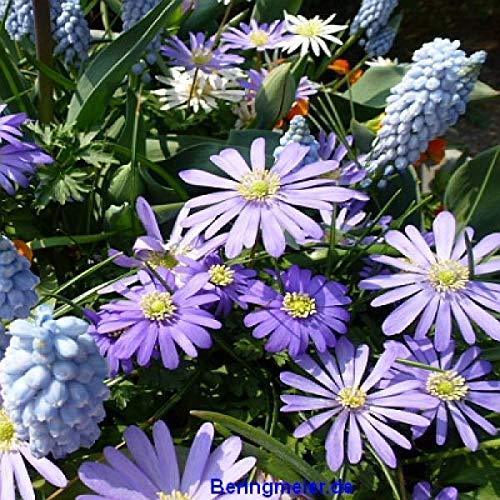 Kleinblumenzwiebeln Blumenzwiebeln Sortiment Frühe Blüher =1.500 Stück in 6 Sorten