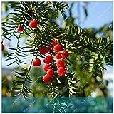 Pinkdose Versandkosten 100 Stück Snow White Bonsai Red Banana Tree Köstlicher Frucht in Ihrem Hinterhof Leicht wachsende Topfpflanze Garten Pot: 16