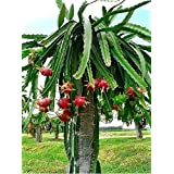 """Kolkata Orchid Online DRAGON FRUIT LIVE PLANT 4"""" To 5"""" HEIGHT IN GROWBAG (1)"""