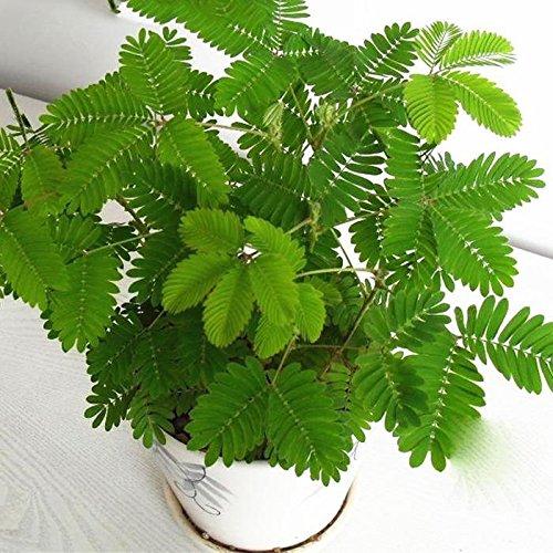 """Acecoree Samen- 50pcs Mimosensamen Bunte schüchterne Gras Samen,\""""Rühr-Mich-Nicht-An\"""" - Die Pflanze, die auf Berührung reagiert- Garten/Zimmerpflanzen Topf"""