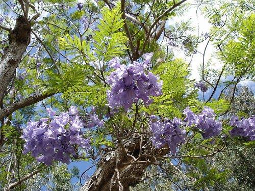 Palisanderbaum -Jacaranda mimosifolia- 25 Samen...