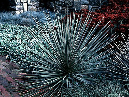 AGROBITS 10 Samen: 10 Soapweep Yucca Seeds Yucca Glauca Zierstrauch Combsh I83