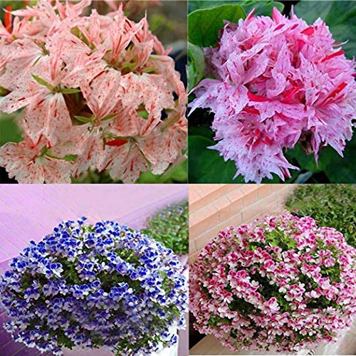 Adolenb Seeds House- Graines de géranium, pots de fleurs anti-moustiques à la citronnelle-géranium, semences vivaces, semences florales, fleurs ornementales pour balcon, jardin
