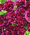 """BALDUR-Garten Stockrose """"Blackberry"""",2 Pflanzen von Baldur-Garten auf Du und dein Garten"""