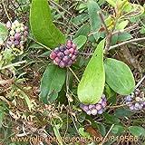 Echt Poria Cocos Samen Indoor Kräuter Indian Buead Bonsai im Freien Garten-Medizin Kräuter Tuckahoe Pflanzen Glabra Sementes Fuling