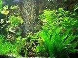 30 Aquarienpflanzen & 1000 ml Bachflohkrebse (Gammerus), Wasserpflanzen