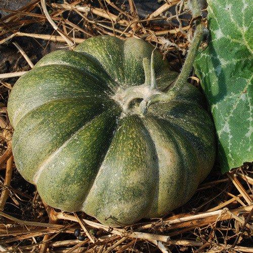 Plant World Seeds - Muscat De Provence Seeds