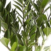 Zamioculca - Maceta 17cm. - Altura aprox. 75cm. - Planta viva - (
