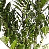 Zamioculca - Maceta 17cm. - Altura aprox. 75cm. - Planta viva - (Envío sólo a Península)