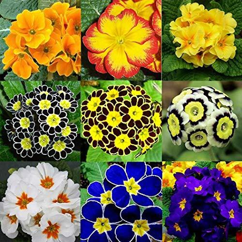 tomasa seedhouse- 100 pezzi rari semi di gelsomino invernale, semi di fiori misti hardy perenne paesaggistica in vaso ape-friendly per balcone, giardino