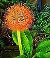 Haemanthus Multiflorus, Blutblumen - Blumenzwiebel / Knolle / Wurzel von GardenSeedsMarket - Du und dein Garten