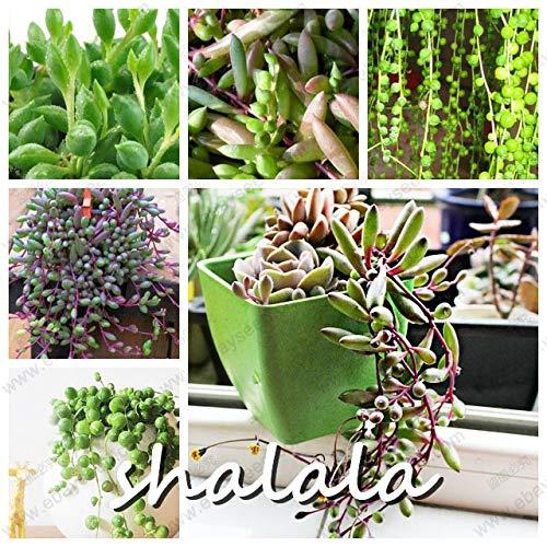 Plentree Pacchetto semi: 100 Pz Aloe Bonsai s Bonsai perlato Aloe Bellezza Commestibile cosmetici Bonsai Piante grasse Bonsai s Per la casa Giardino: mix-100