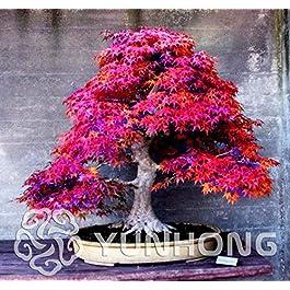 Bloom Green Co. Pianta in vaso bonsai 100% vera pianta di acero rosso Bonsai giapponese, 20 pc/pacchetto, molto bella…