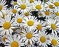 Magerwiesen-Margerite - Wilde Margerite - Chrysanthemum leucanthemum - Blume - 1000 Samen von Samen Schenker - Du und dein Garten