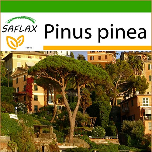 SAFLAX - Mittelmeer - Pinie - 6 Samen - Mit Substrat - Pinus pinea