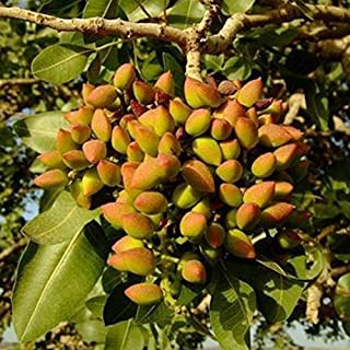 Nut tree Pistachios seeds, Chinese Pistacia outdoor fruit tree seeds tropical plant bonsai seeds