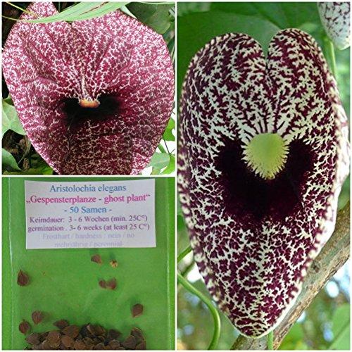 "Gespensterpflanze - 50 Samen - Aristolochia elegans - ""Pfeifenblume"""