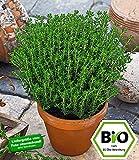 BALDUR-Garten BIO-Gewürz-Thymian, 1 Pflanze Thymus vulgaris Küchenkräuterpflanze