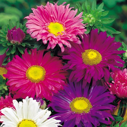 premier-seeds-direct-ast04f-aster-china-single-mixed-finest-annual-seeds-pack-of-400
