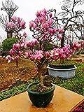 AGROBITS 10PCS Magnolia Bonsai fiore pianta Magnolia Tree seme fiore raro legnoso perenne piante da fiore in vaso per piante giardino di casa: 5