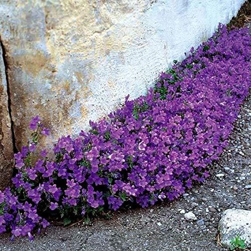 Polsterglockenblume Blaue ansehnliche Blüten