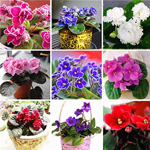 Yukio Samenhaus - 100 Stück Viola tricolor Mischung Selten Blumensamen Wildes Stiefmütterchen (Saatgut) Blutreinigungsmittel