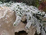 "Kakteengarten 3 winterharte Pflanzen Aster pansus ""Snowflurry"" / kriechende Myrtenaster im 9cm Topf"