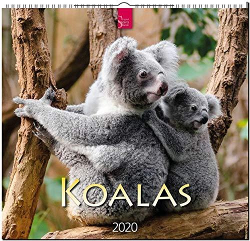 Koalas: Original Stürtz-Kalender 2020 - Mittelformat-Kalender 33 x 31 cm
