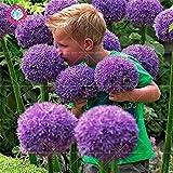 100pcs Seltene Riesen Allium Giganteum Bonsai seeds.Blue Allium mehrjährige Blume Topf Samen, Rasen trimmen und Landschaftsbau Sorten. 5