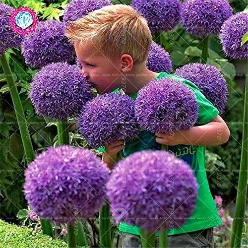 100pcs Rare géant Allium Giganteum Bonsai seeds.Blue Allium graines en pot de fleurs vivaces, finition des pelouses et l'aménagement paysager. Variétés 5