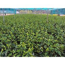 Kirschlorbeer Novita Containerpflanzen 80-100 cm