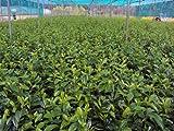 Kirschlorbeer Novita Containerpflanzen 100-120 cm