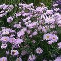 Herbstaster ( Aster novae-belgii ' Fellowship ' ) von Lichtnelke Pflanzenversand bei Du und dein Garten