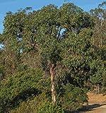 Portal Cool 500 Samen des Eukalyptus gunnii, Cider Gum Eukalyptus, Hardy bis -14 ° C
