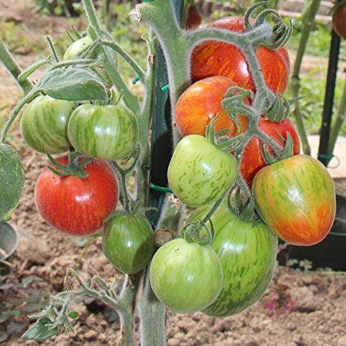 10 Samen Elberta Girl Tomate – behaartes Laub, dekorative Pflanze