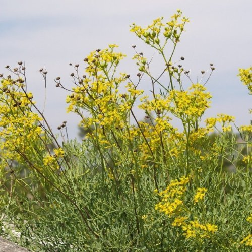 Weinraute - Ruta graveolens (50 Samen)