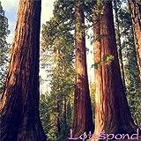 20 Semillas secoya gigante secoya de amanecer mayores fresca parque natural de árboles de alta calidad 100% semillas reales