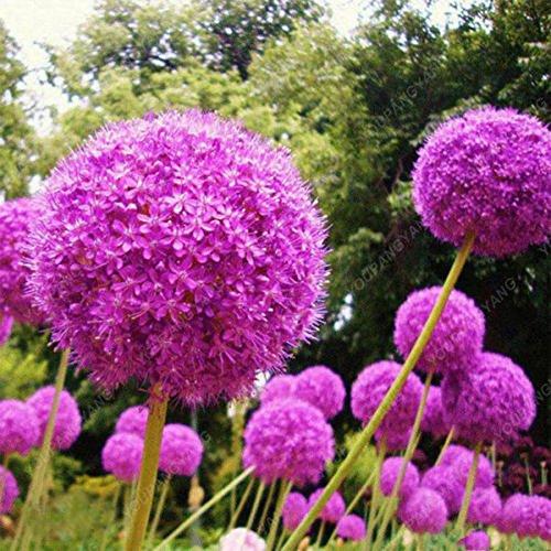 100 Violet géant Allium Giganteum Belle Graines de fleurs Jardin des  plantes en herbe le taux