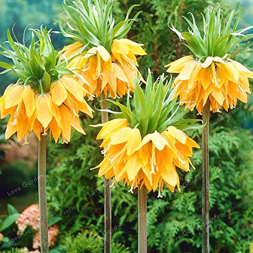 Gelbe Kaiserkrone Fritillaria Samen, Wongfon Seltene Blumensamen Bonsai Garten Pflanzen 100 Samen