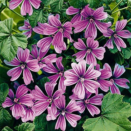 Malve-pflanze (MEIGUISHA Gartensamen-100pcs Wilde Malve sylvestris Zier/Arzneipflanze malva moschata Sommermalve Mischung Blumensamen für Garten und Balkon)
