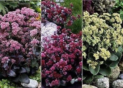 iovivo Stauden Sortiment Große Fetthenne 3er-Set von iovivo auf Du und dein Garten