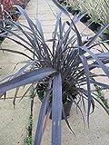 Phormium tenax Platts Black - Neuseelandflachs Platts Black