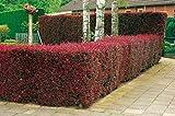 Blutberberitze Atropurpurea - Heckenpflanze Berberitze winterhart - Gartenhecke Sichtschutz - Wurzelnackt, 5 Pflanzen im Bund, 40-70 cm von Garten Schlüter - Pflanzen in Top Qualität