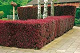 Blutberberitze Atropurpurea - Heckenpflanze Berberitze winterhart - Gartenhecke Sichtschutz - 1 Pflanze 30-50 cm im Topfballen von Garten Schlüter - Pflanzen in Top Qualität