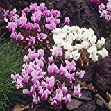 Cyclamen Hederifolium plants (Pack of 6) pink and white